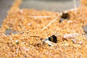 De natuur is hard: honderden dode hommels in Breugel