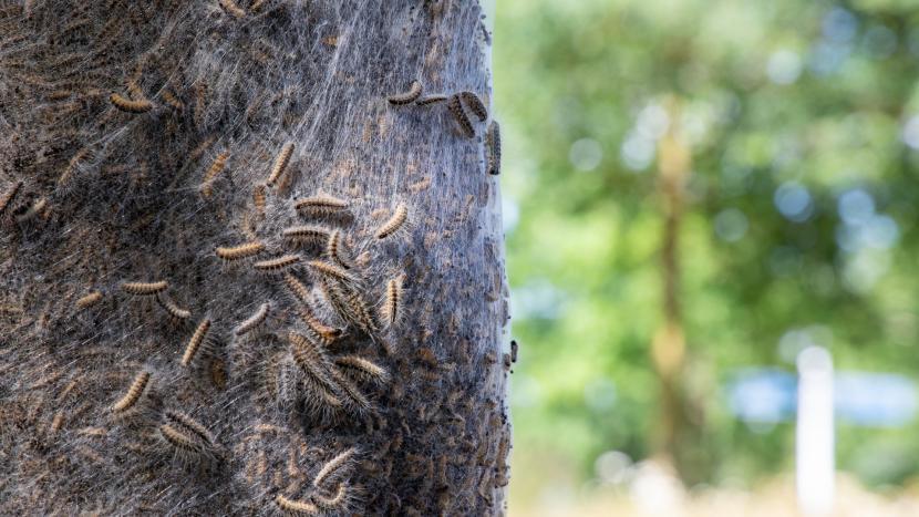 Een nest met eikenprocessierups tegen een boom