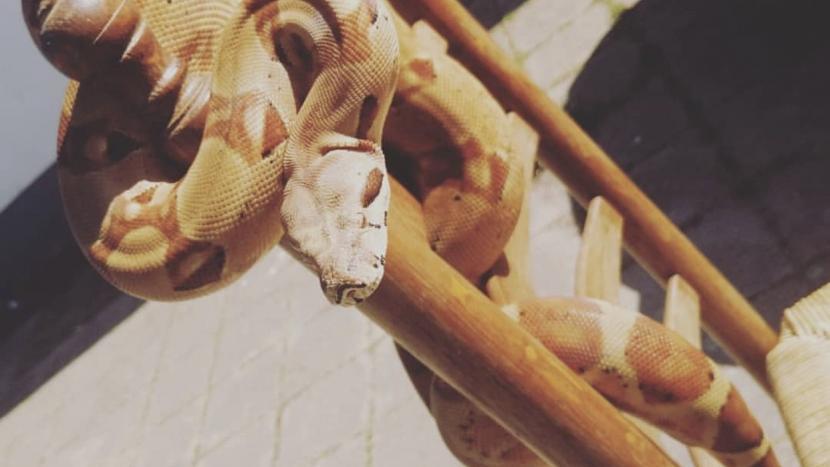 De ontsnapte python