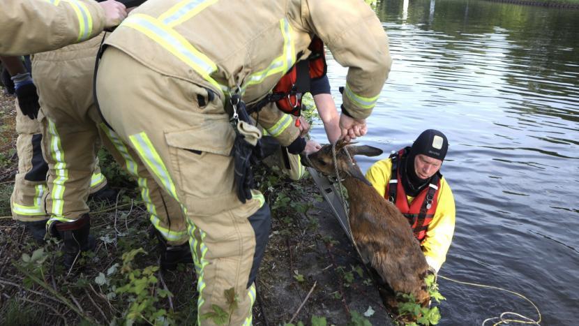 Brandweer trekt he toe water gevallen hert uit het water