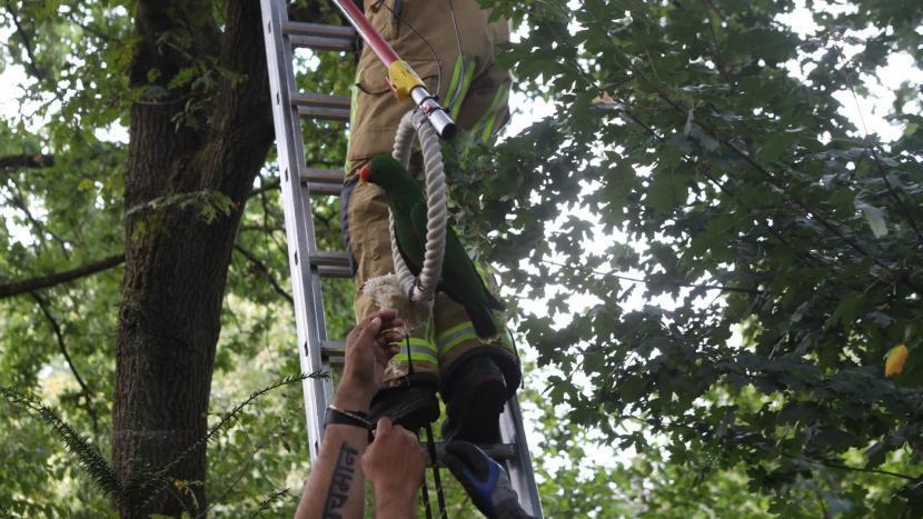 De papegaai wordt in zijn ring door brandweerlieden uit de boom gehaald